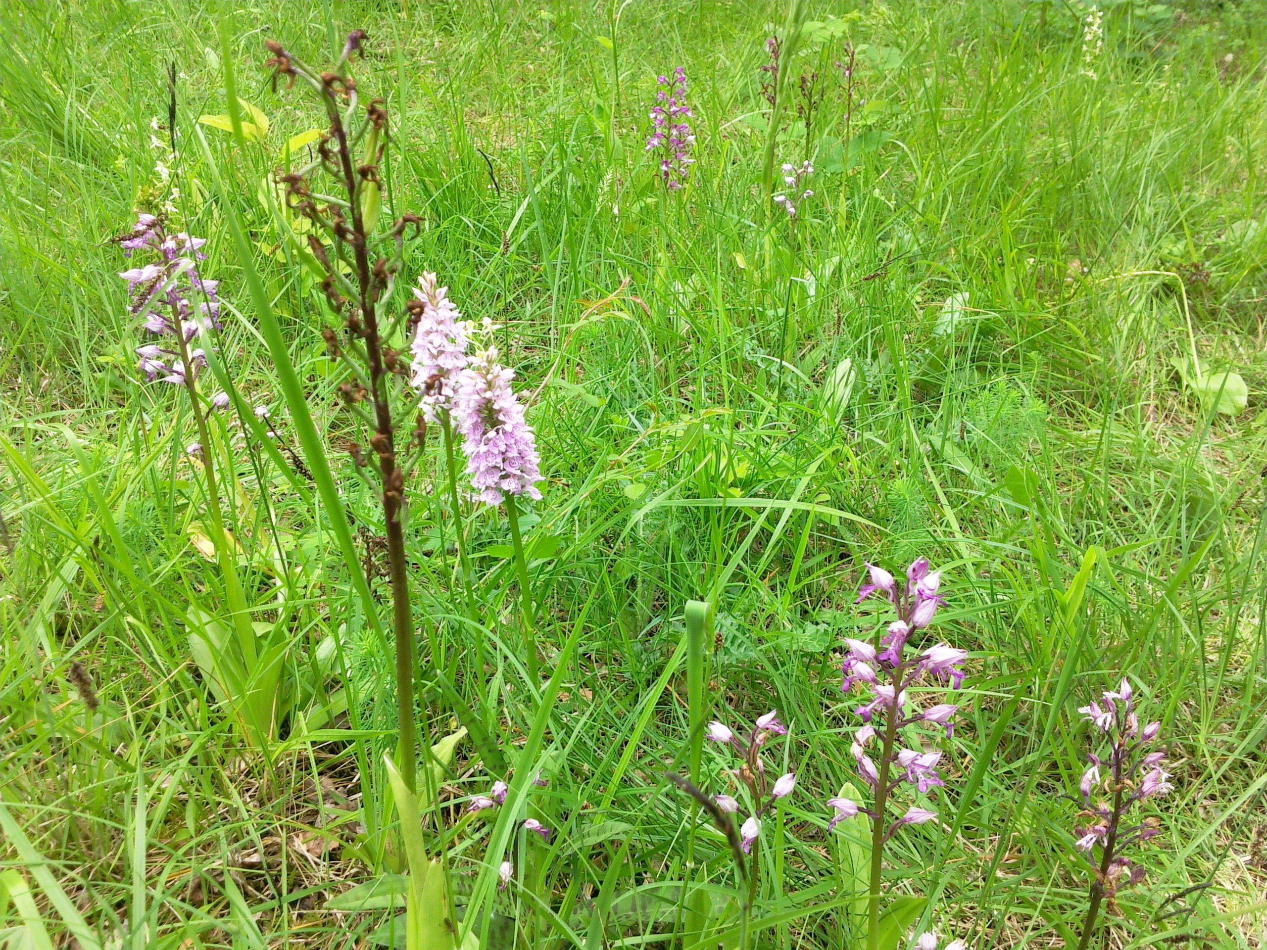 orchidee sauvage aisne