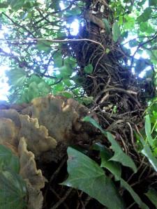 Champignon et lierre sur un vieil arbre