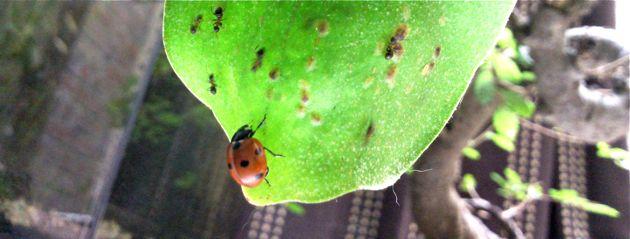 Coccinelle contre fourmis