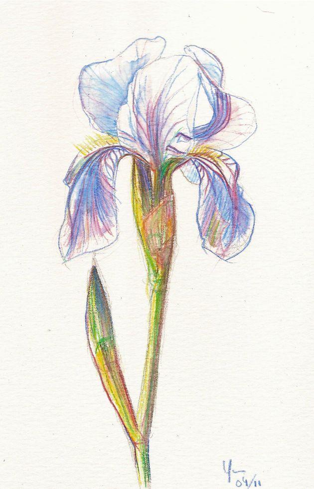Des Crayons Aquarellables Pour Dessiner Un Iris De Jardin