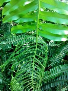 Fougère aux feuilles mutantes