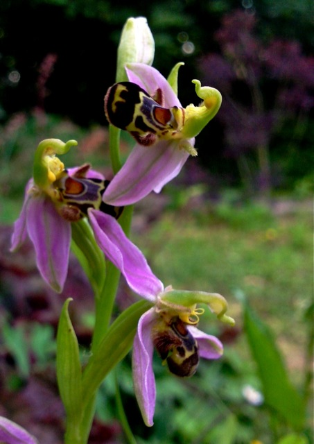ophrys autofecondation