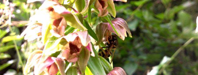 Guêpe sur une orchidée epictatis