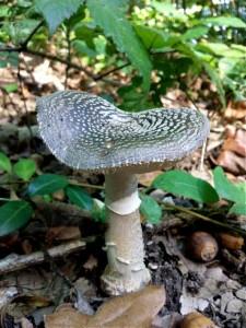 Amanite panthere ou autre champignon