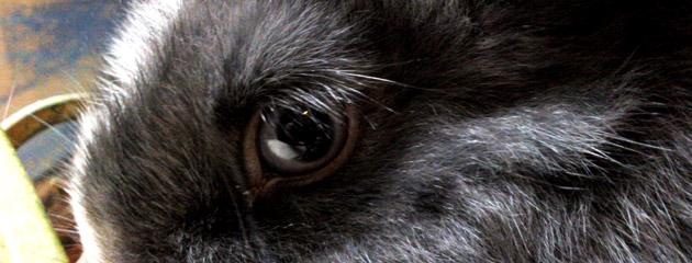 Oeil de lapin