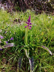 Pied d'Orchis mascula