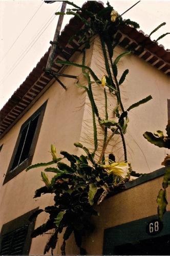 Hylocereus undatus en fleur mad re fruit du dragon ou pitaya espace graphique - Arbre fruit du dragon ...
