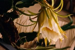 Fleur de Hylocereus undatus