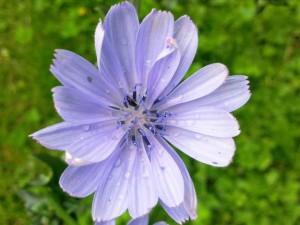 Fleur de Chicorée, Endive ou encore Chicon