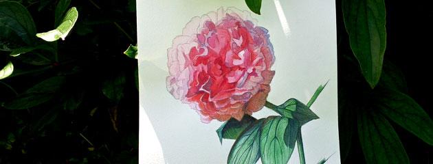 Pivoine, dessin au jardin