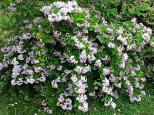 Deutzia arbuste