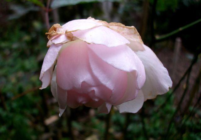 Rose du 19 janvier 2013