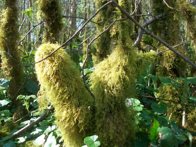 Balade dans les bois espace graphique - Mousse sur les arbres ...