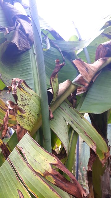Bananiers en hiver