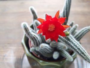 Cactus cornichon