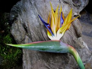 Strelitzia reginae (Oiseau de paradis) - Profil
