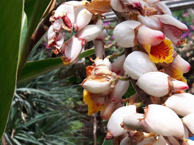 Alpinia zerumbet (Gingembre coquille)