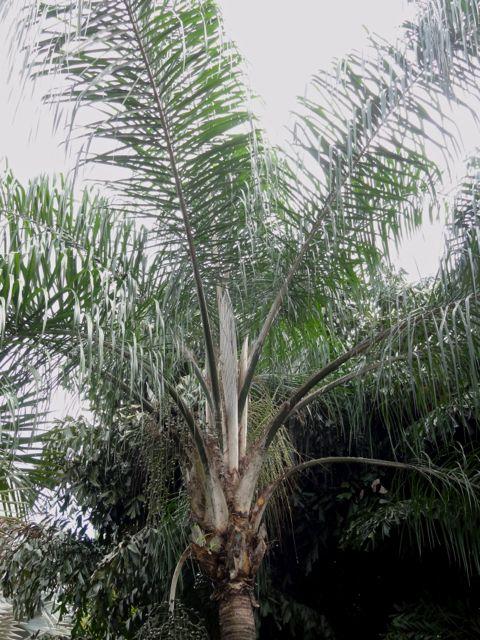 Syagrus romanzoffiana cocotier plumeux palmier de la reine - Palmier cocotier ...