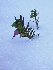 Erica carnea - Bruyère d'hiver