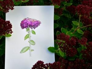 Orpin ou Sedum purpureum