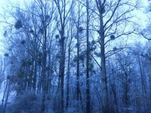 Gui sur les arbres