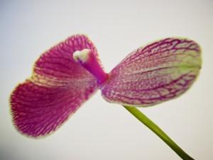 Phalaenopsis en mutation