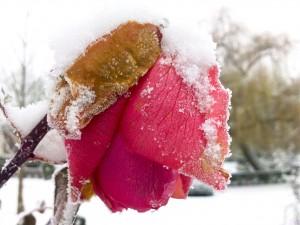 Rose et neige