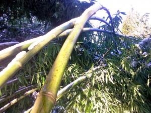 Bambou courbé par la neige