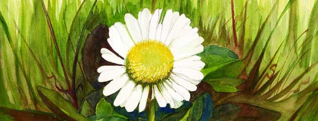 Paquerette, Daisy
