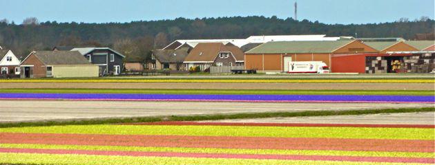 Champs de fleurs - Hollande