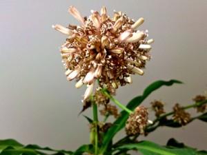 Fleurs de Dracaena massangeana