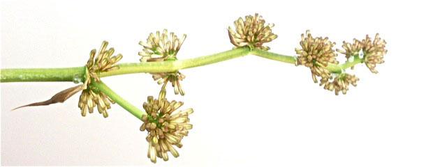 Inflorescence Dracaena massangeana