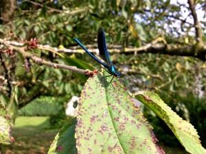 Calopteryx sur le cerisier