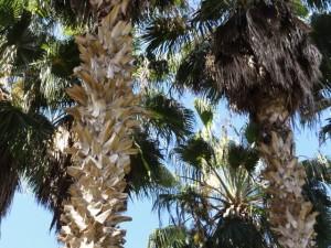 Troncs de Trachycarpus fortunei