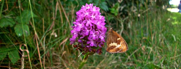 Orchis pyramidal et papillon