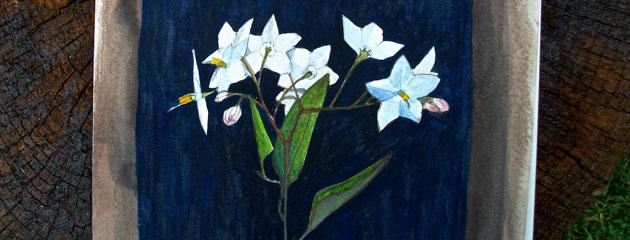Aquarelle de Solanum jasminoides