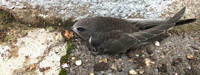 Martinet noir tombé du nid