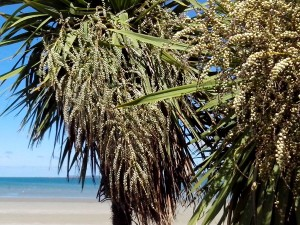 Baies de Cordyline australis