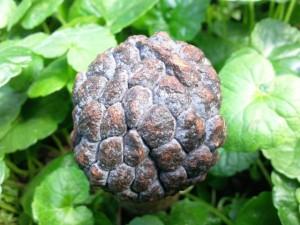 Annona squamosa (Attier, Pommier cannelle)