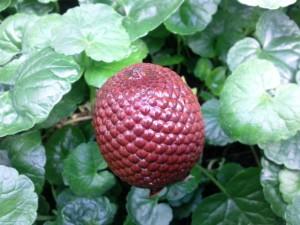 Mauritia flexuosa (Palmier-bâche)
