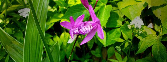Blettilla hyacinthina striata