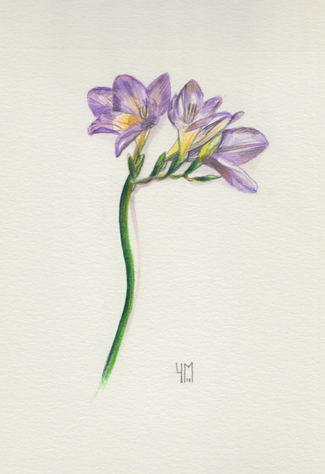 Aquarelle de Freesia