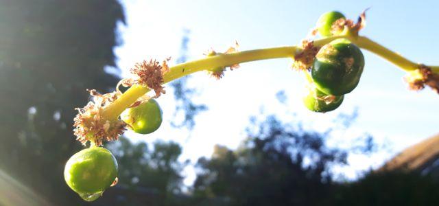 Fruit du Dragonnier