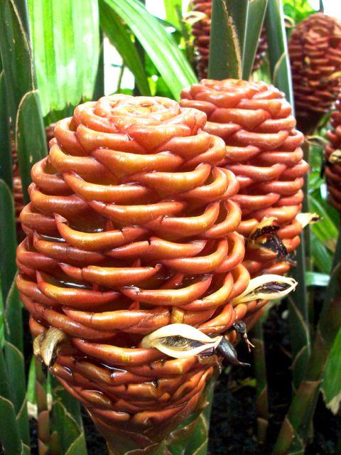 Zingiber spectabile - Hampe florale