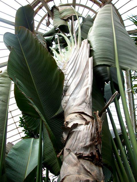 Ravenala madagascariensis (Arbre du voyageur)