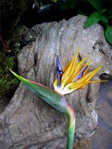 Strelitzia reginae (Oiseau de paradis) - Vue moyenne