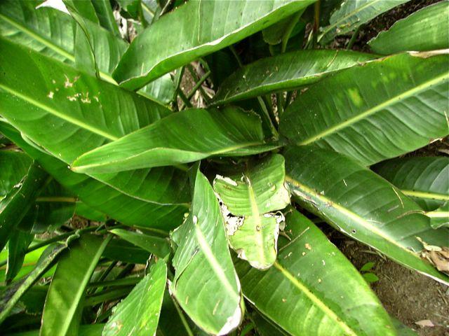 Oiseaux de paradis (Strelitzia Reginae) - Feuilles en extérieur