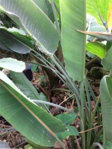 Strelitzia reginae (Oiseau de paradis) - Feuilles