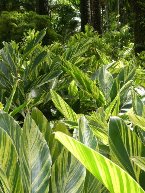 Alpinia - feuilles