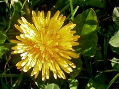 Photos d'astéracées en capitules liguliflores